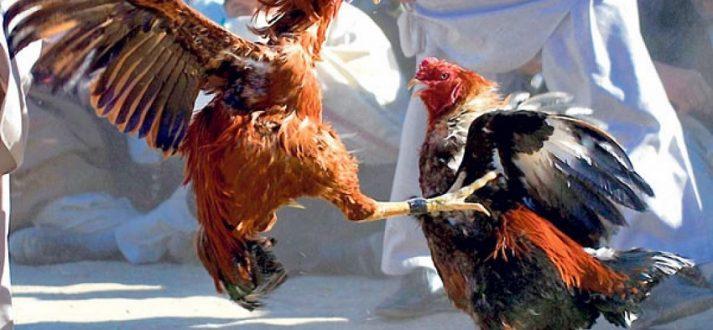 Taruhan Judi Sabung Ayam