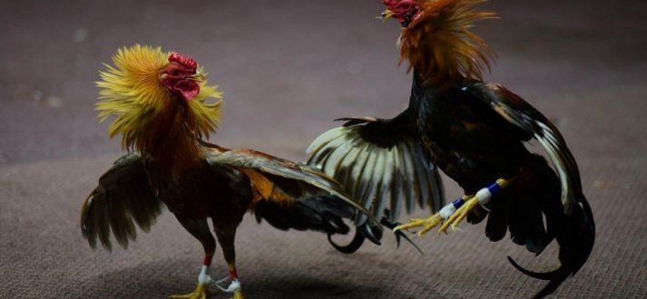 Agen Judi Ayam